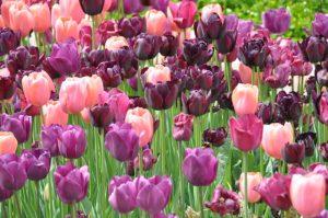 tulipes roses et violettes