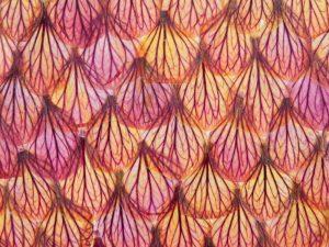 Fleurs d'abutilon séchées et collées sur papier