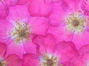 R 3 rose détail a